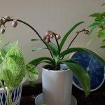 胡蝶蘭 つぼみ