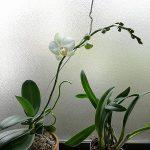 胡蝶蘭とカトレア