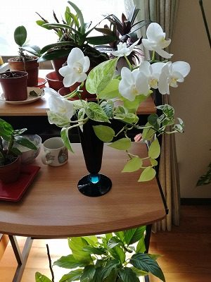 胡蝶蘭とポトス