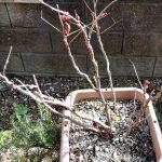 3月の牡丹は芽が出たくらい
