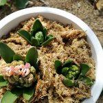 鉢植えのヒアシンス