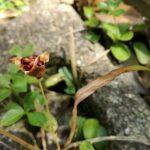 姫檜扇の種