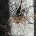 枯れた紫蘇の根の画像